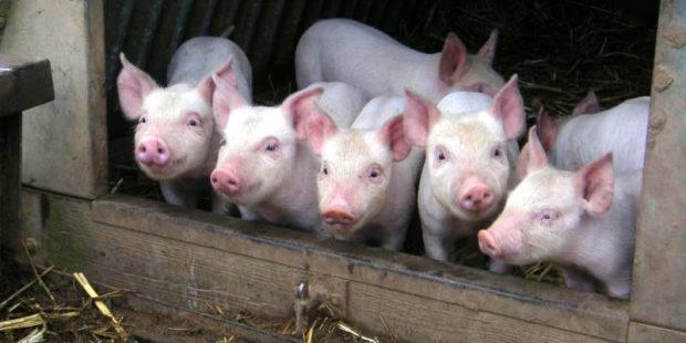 Пищевая анемия у свиней
