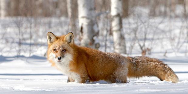 13_winter_predators