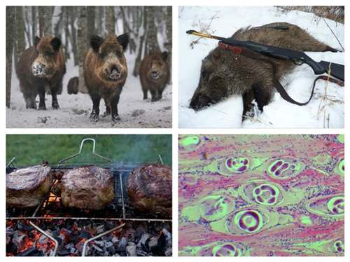 Trihinellez_u_zhivotnih_kobanov-_svinej-_bobrov