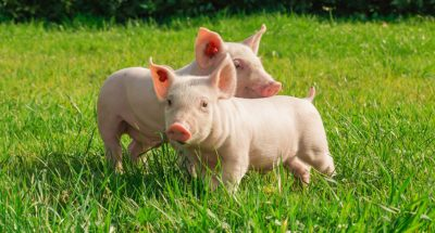 cattle_pigs_and_poultry