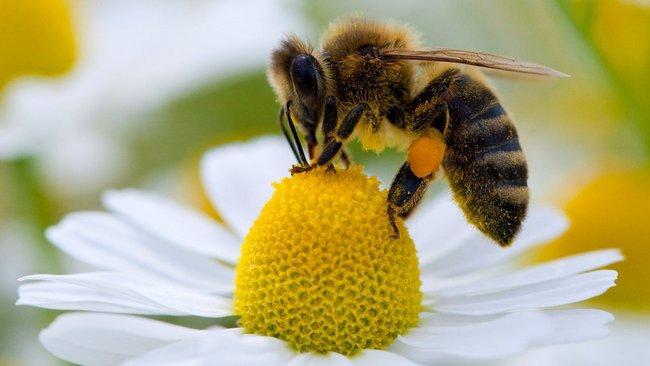 """ARCHIV - Eine Biene sammelt auf einer Kamillenblüte Pollen, den sie an ihren Hinterbeinen befestigt, um ihn zum Bienenstock bringen zu können, aufgenommen auf einer Wiese in Frankfurt (Oder) am 15.06.2009. Der Honig wird in diesem Jahr besonders lecker. «Wir Imker sind in diesem Jahr mit dem Ertrag sehr zufrieden», sagte Manfred Ritz, Vorsitzender des Landesverbandes hessischer Imker, in einem Gespräch mit der Nachrichtenagentur dpa. Foto: Patrick Pleul dpa/lrs (zu lhe """"Beste Honigernte der letzten Jahre"""" vom 08.07.2011) +++(c) dpa - Bildfunk+++"""