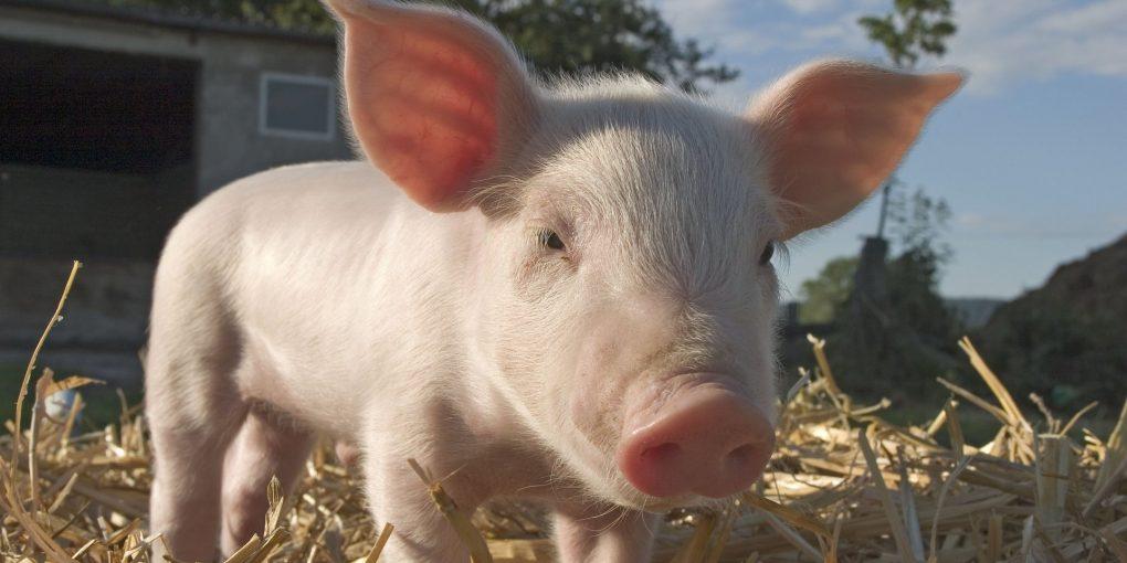Domestic Pig, piglet