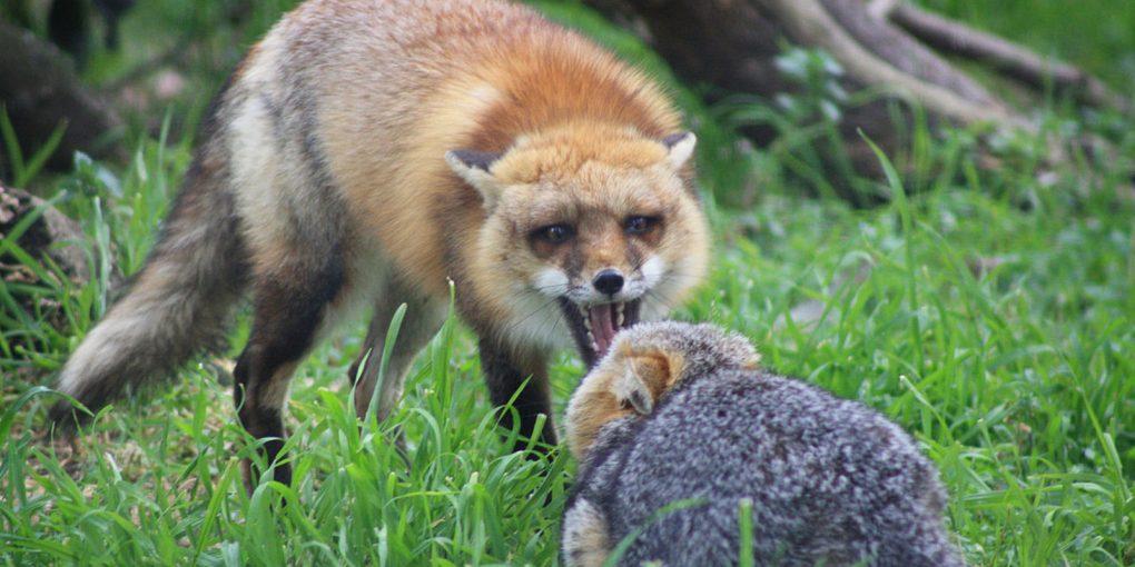 889921_072815-wtvd-rabid-fox-img