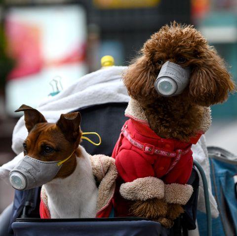 собаки коронавірус - копия
