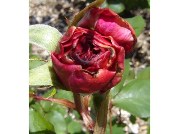 трипс роза