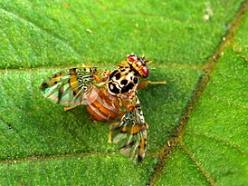 275px-Medfly_insect