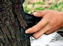 Догляд за стовбурами дерев восени