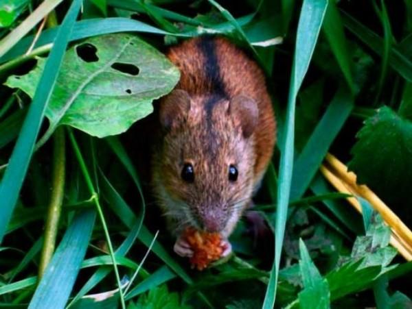 Миша польова (2)