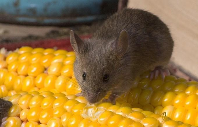 Миша пошкоджує зерно