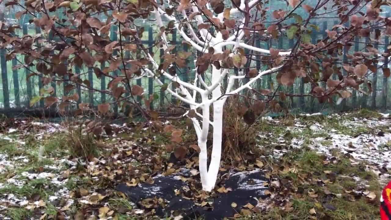 Побілка дерев восени 2