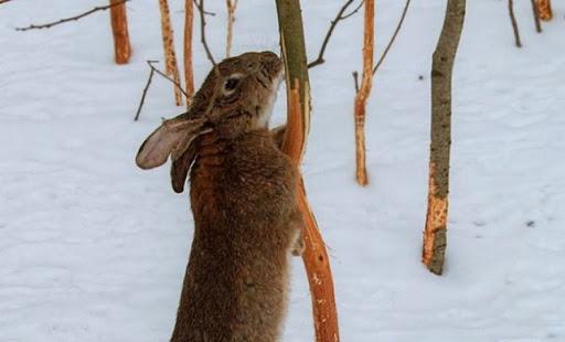 Зима Пошкодження зайцями саду