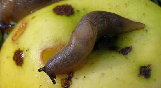 Слимаки на яблукові
