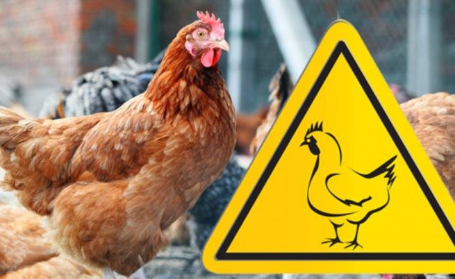 грип-птиці