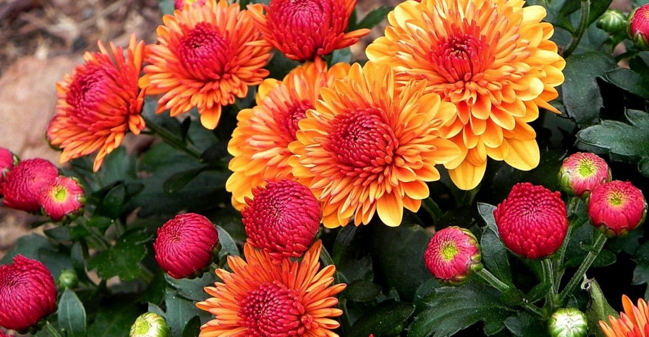 kartinki24_ru_chrysanthemums_21-1300x675
