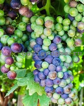 vinograd-cherenki-1