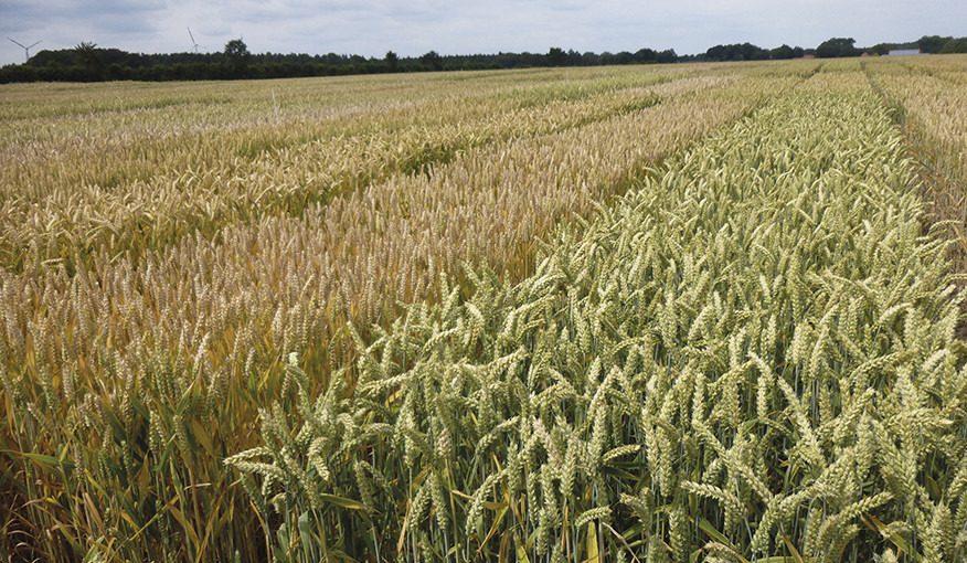 пшениця 01
