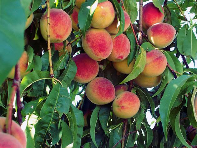 peach6b