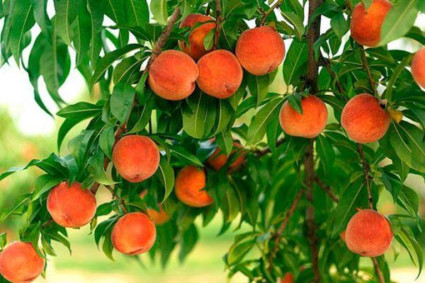 persik-frukt_02