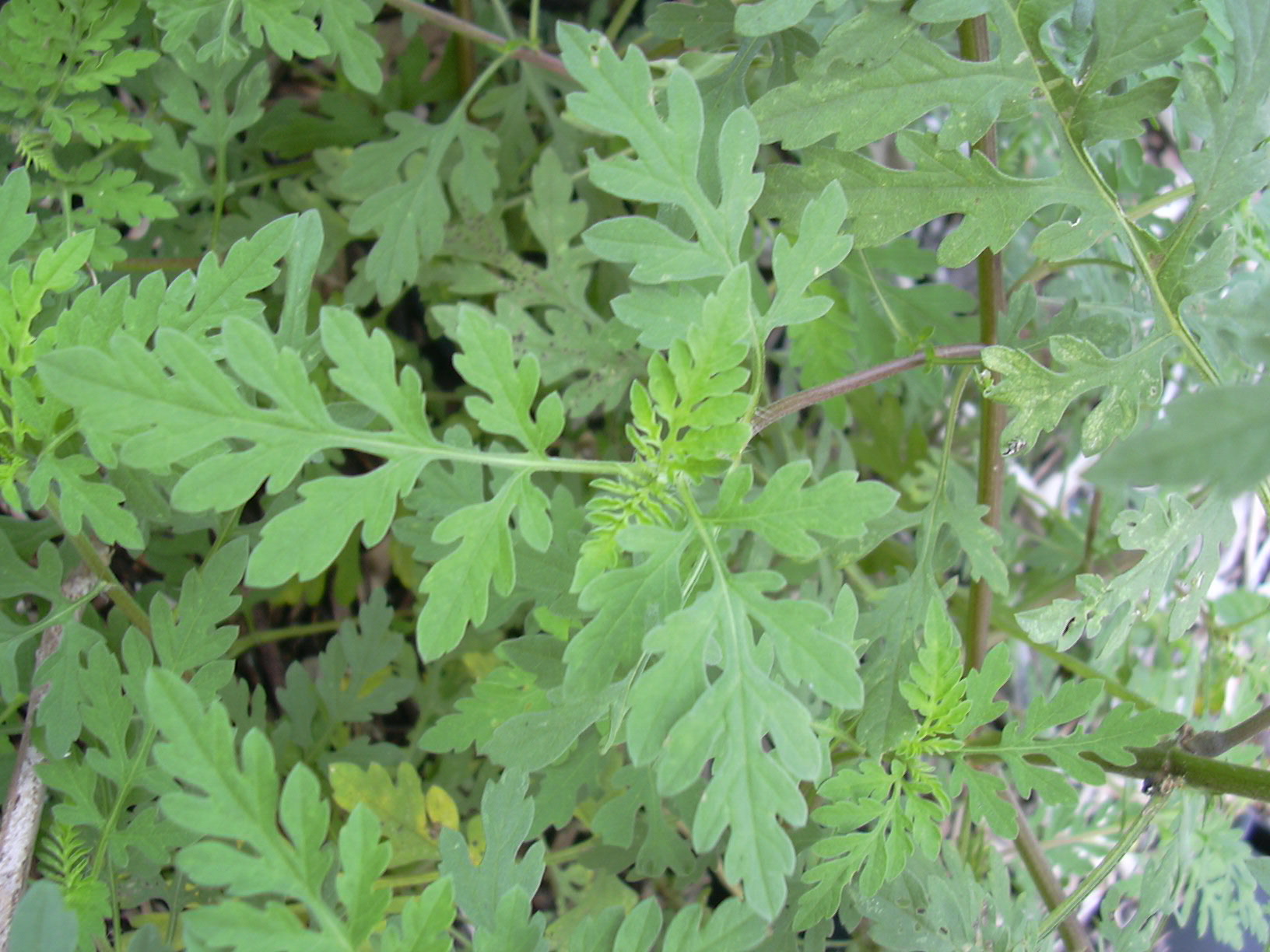 Starr_031108-3169_Ambrosia_artemisiifolia